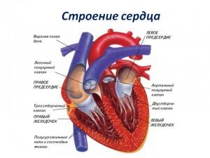 Сосуды большого и малого круга кровообращения, линейная скорость кровотока в аорте