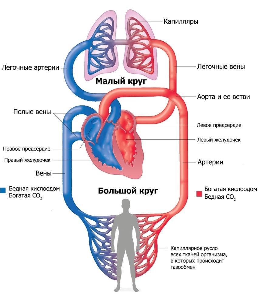 Kontraksiyon sonrası kardiyoskleroz. Nasıl tedavi edilir 31